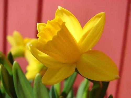 Påskelilje - Blomsten som representerer påskens symboler.