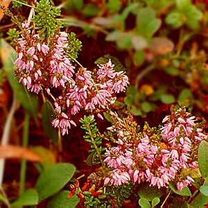 """Dette nydelige bildet av Røssøyng har vi """"lånt"""" fra Karlsøys Flora Der finner du 125 lekre bilder og beskrivelser av planter og blomster"""