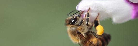 Bie på blomst. Foto: Nathan Rupert