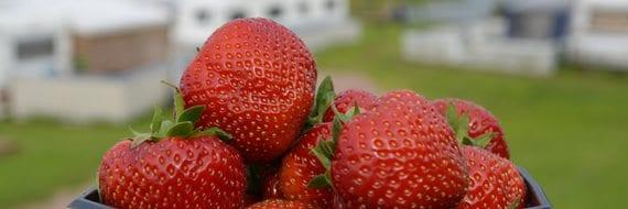 Selvplukk av jordbær på Homannsberget camping