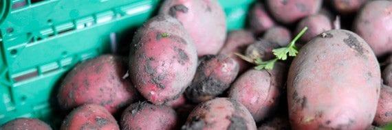Geitemyra matkultursenter for barn feirer poteten.