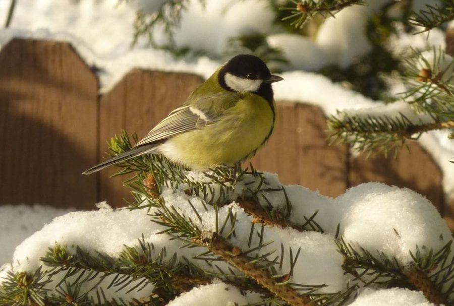 Lær mer om våre vinterfugler
