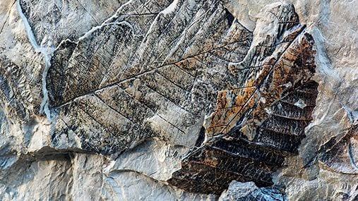 Plantefossiler fra Svalbard – Historien bak hovedbilde